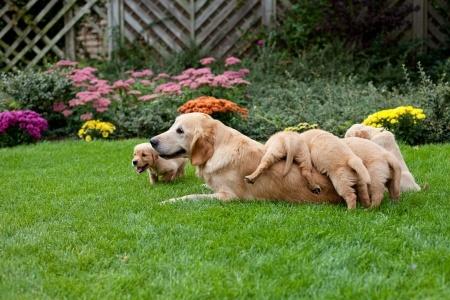 golden retriever leader tra i cani
