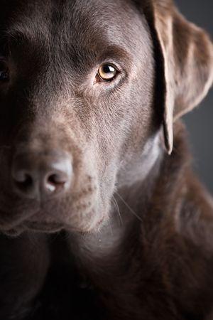 Profilo labrador
