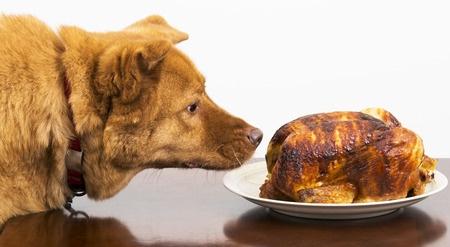 Cane mangia pollo