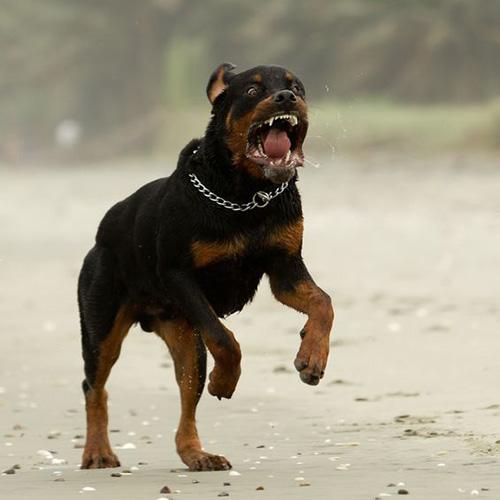 Rottweiler aggressivo
