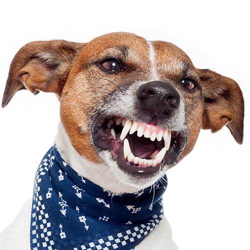 Jack Russell Terrier ringhia