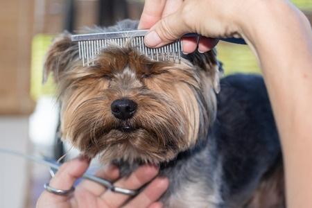 Franghetta a yorkshire terrier