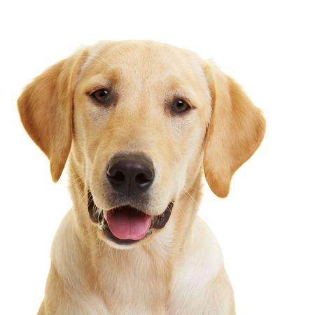 Tenero cane labrador