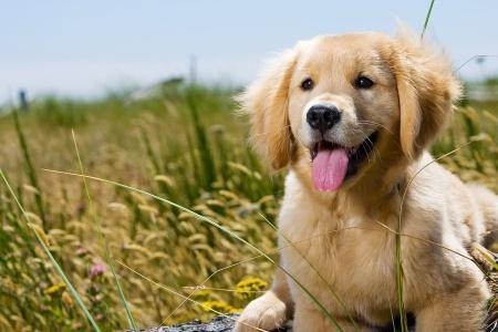 golden retriever cane molto intelligente