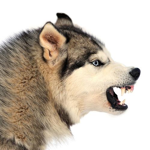 Husky Siberiano aggressivo