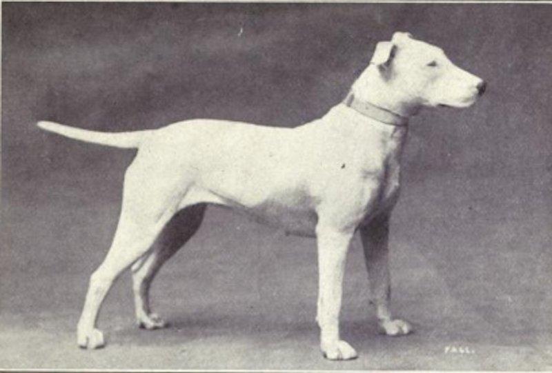 bull Terrier nel 1915