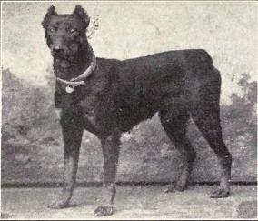Dobermann nel 1915