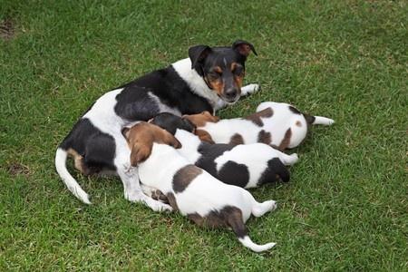 Cagna che allatta i suoi cuccioli