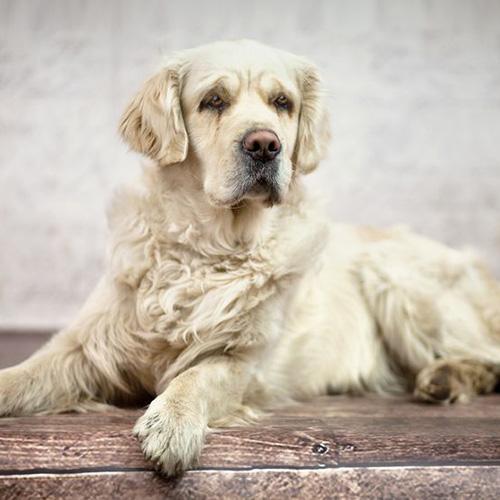 Sindrome da disfunzione cognitiva canina