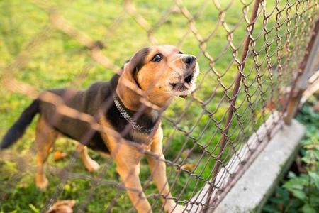 cane ringhia dietro il recinto
