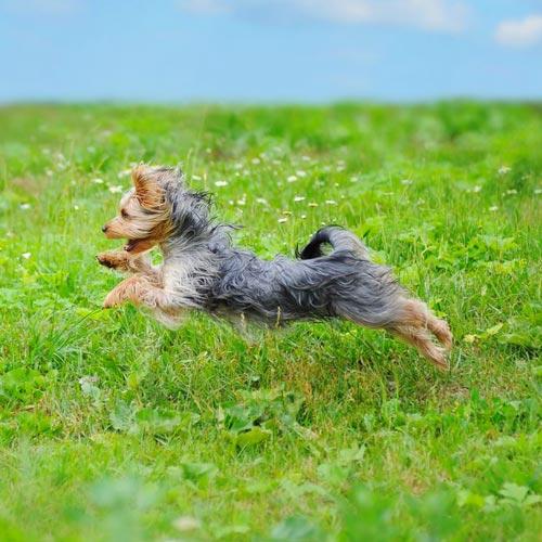 Cane corre come un cavallo a dondolo