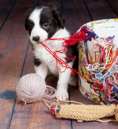 cucciolo di cane che combina un guaio in casa