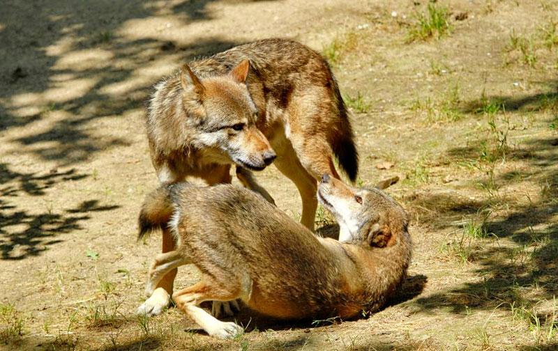 Incontro tra due lupi