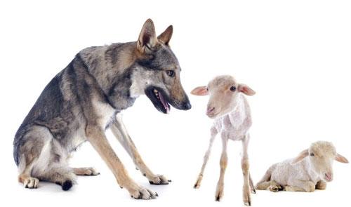 Lupo con due pecorelle
