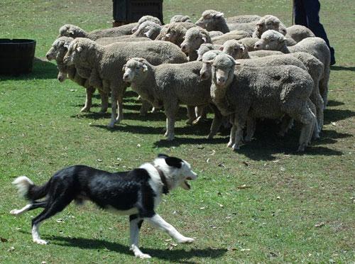 Pastore che raduna il gregge