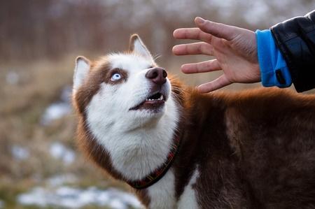 siberian husky spaventato da un estraneo