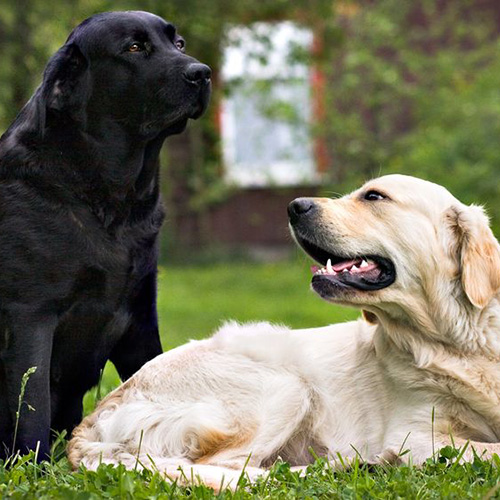 i cani sono in grado di riconoscere i loro genitori anche solo guardando i loro volti