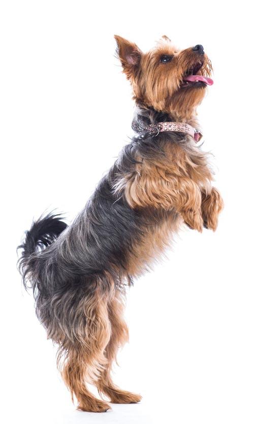 Casa mi vuole dire il cane quando è ritto in piedi