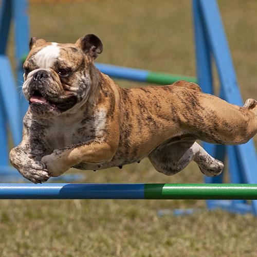 Salto in lunghezza cane bulldog