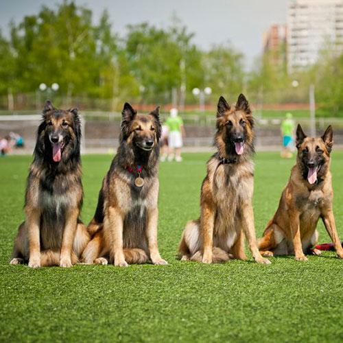 4 pastori belga