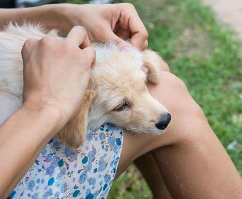 Controllo pulci al cane