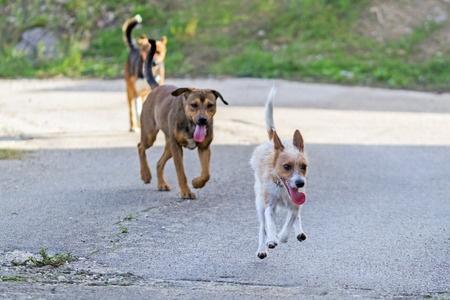 Cagna in calore che sfugge da 2 cani maschi
