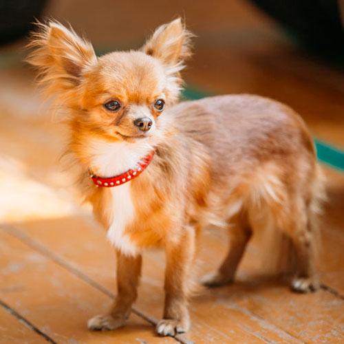 Chihuahua di media età