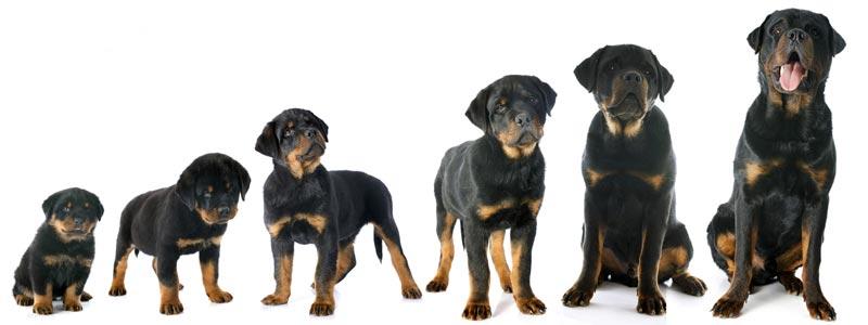 quanto cresce un Rottweiler