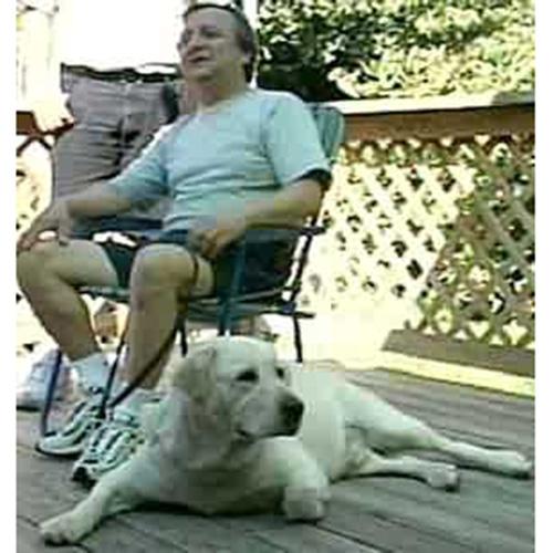 Dorado cane guida Labrador