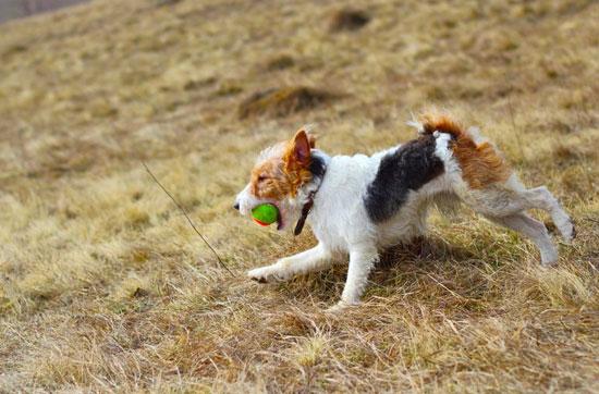 Fox Terrier che gioca
