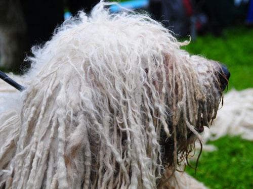 cane komondor a pelo cordato