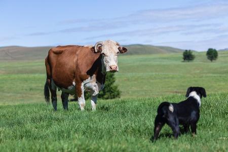 cane sente l'ovulazione delle mucche