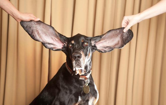 cane record orecchie più grandi al mondo