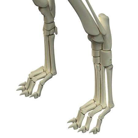 Zampe anteriori del cane