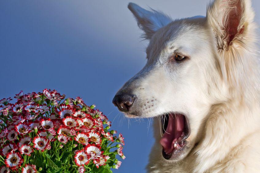 allergie stagionali dei cani