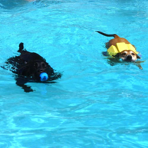 Cani nuotano in piscina