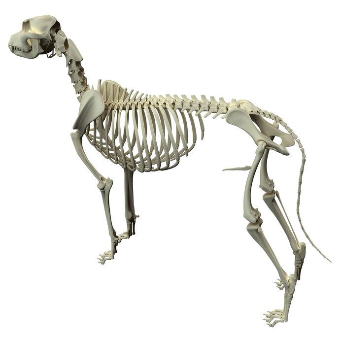 colonna vertebrale cane
