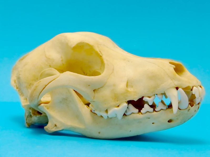 Cranio del cane