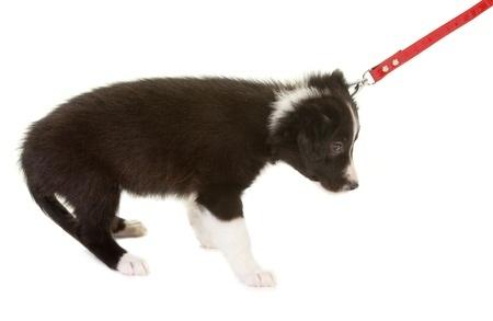 Cane si strozza con collare