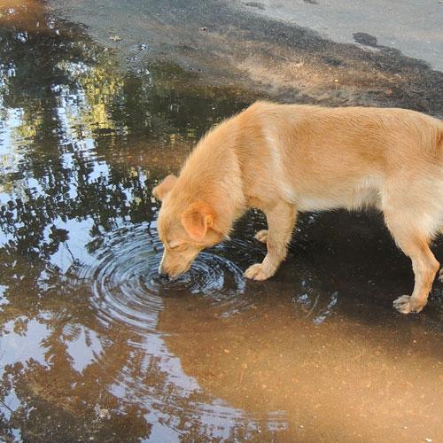cane che beve in una pozzanghera