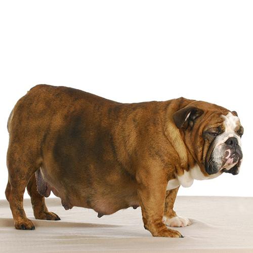 Quarto stadio gravidanza canina