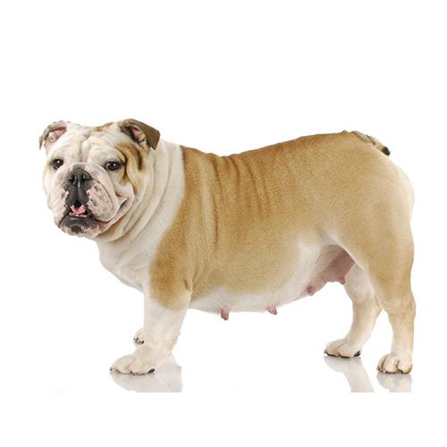 Sintomi di gravidanza nel cane